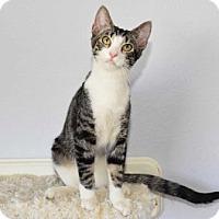 Adopt A Pet :: Tiger - Las Vegas, NV