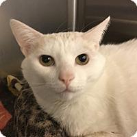 Adopt A Pet :: Snowball & Frankie (declawed) - Richmond, VA