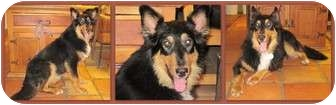 Australian Shepherd/Collie Mix Dog for adoption in Trabuco Canyon, California - Utah
