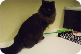Domestic Longhair Cat for adoption in Modesto, California - Mufasa