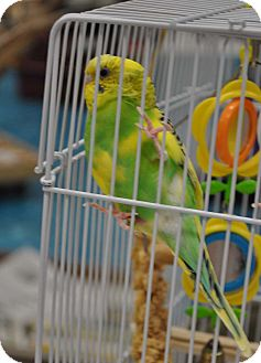 Budgie for adoption in Shawnee Mission, Kansas - Winky