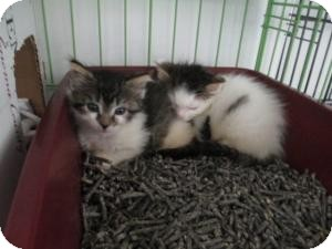 Domestic Shorthair Kitten for adoption in Island Park, New York - Sophia & Jerry