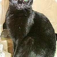 Domestic Shorthair Cat for adoption in Chattanooga, Tennessee - Pixie