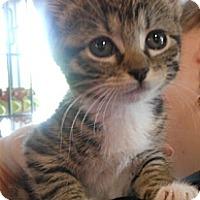 Adopt A Pet :: Blair - Reston, VA