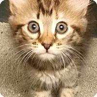 Adopt A Pet :: Celeste - Chattanooga, TN