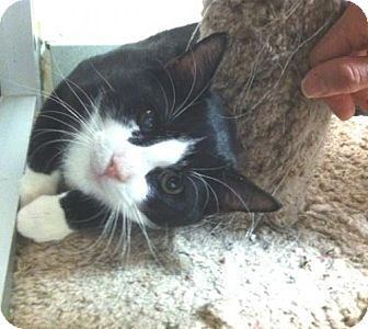 Domestic Shorthair Cat for adoption in New York, New York - Jax (Manhattan)