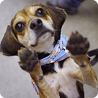 Adopt A Pet :: Vikki  **ADOPTION PENDING** - Fairfax, VA