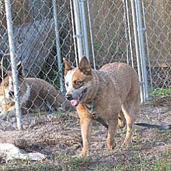 Photo 3 - Australian Cattle Dog Dog for adoption in Bradenton, Florida - Pepper