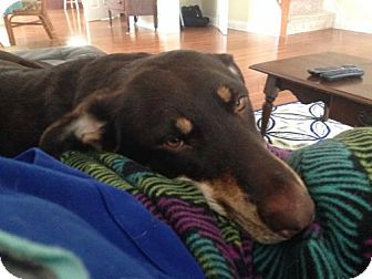 German Shepherd Dog/Rottweiler Mix Dog for adoption in Wilmington, Delaware - Hershey - FENCED YARD REQUIRED
