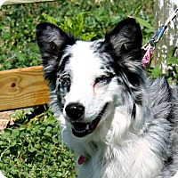 Adopt A Pet :: Merle - Lebanon, CT