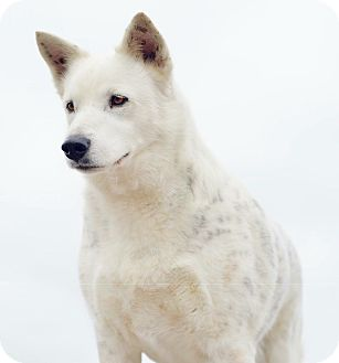Shepherd (Unknown Type)/Great Pyrenees Mix Dog for adoption in Ann Arbor, Michigan - A - ARCTIC