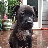 Adopt A Pet :: Rookie - Durham, NC