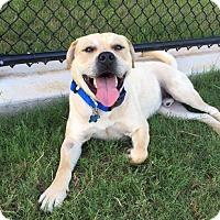 Adopt A Pet :: Rockster - Brattleboro, VT