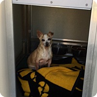 Adopt A Pet :: Angel Boy, Survived Cancer - Corona, CA
