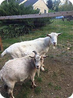 Goat for adoption in Maple Valley, Washington - Willow & Rip
