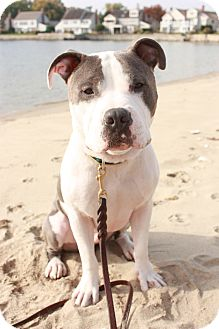 Pit Bull Terrier Mix Dog for adoption in Ardsley, New York - Merle