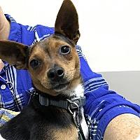 Adopt A Pet :: Carina - Tijeras, NM