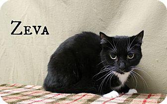 Domestic Shorthair Cat for adoption in Melbourne, Kentucky - Zeva
