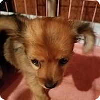 Adopt A Pet :: Trixie - Fullerton, CA