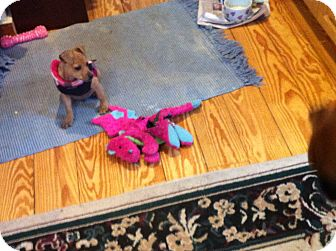 Miniature Pinscher/Chihuahua Mix Puppy for adoption in Bennington, Vermont - Big Love Tiny Teacup PUPPY!