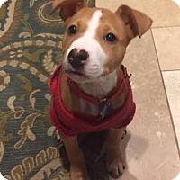 Adopt A Pet :: Rudolph (ADOPTION PENDING) - Fredericksburg, VA