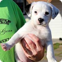 Adopt A Pet :: Lily - Seabrook, NH