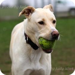 Labrador Retriever Mix Dog for adoption in Minnetonka, Minnesota - WIllow