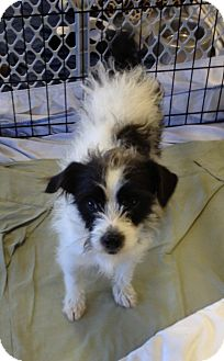 Terrier (Unknown Type, Small) Mix Dog for adoption in Phoenix, Arizona - Skeeter