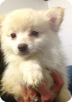 Pomeranian/Chihuahua Mix Puppy for adoption in Richmond, Virginia - Mopsy