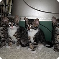 Adopt A Pet :: Kenny's Kittens - Acme, PA