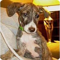 Adopt A Pet :: Savannah - Manalapan, NJ