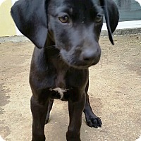 Adopt A Pet :: Scooby - Huntsville, AL