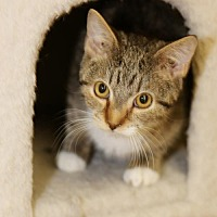 Adopt A Pet :: Batman - Olive Branch, MS