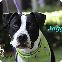 Adopt A Pet :: Jagger - Alpharetta, GA