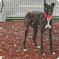 Adopt A Pet :: Terra - Santa Rosa, CA
