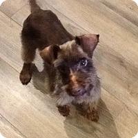 Miniature Schnauzer Dog for adoption in Cincinnati, Ohio - HAVA-Adoption Pending