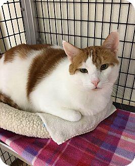 Domestic Shorthair Cat for adoption in Barrington Hills, Illinois - Charles