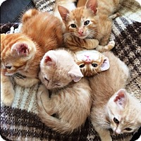 Adopt A Pet :: Orange Kittens and Mom - Orange, CA