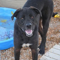 Adopt A Pet :: Elliot The Huge Black Dog - Jewett City, CT