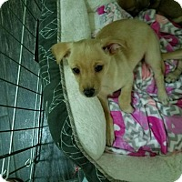 Adopt A Pet :: Coconut 'CHI-WEENIE' puppy - Los Angeles, CA