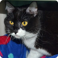 Domestic Shorthair Cat for adoption in Wheaton, Illinois - Adele