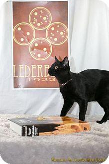 Domestic Shorthair Kitten for adoption in Scarborough, Maine - Esther Lederberg