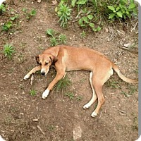 Beagle Mix Puppy for adoption in Marion, North Carolina - Hope