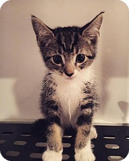 Domestic Shorthair Kitten for adoption in Jersey City, New Jersey - Slinky