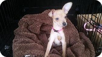 Chihuahua Mix Puppy for adoption in Richardson, Texas - Sofi