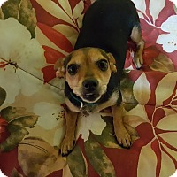 Chihuahua/Dachshund Mix Dog for adoption in Nashville, Tennessee - Priscilla