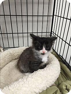 Domestic Mediumhair Kitten for adoption in Tehachapi, California - Frankinkitty