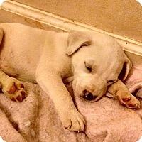 Adopt A Pet :: Phoenix - greenville, SC