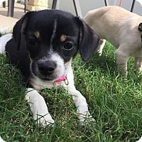 Adopt A Pet :: Mabel - Aubrey, TX