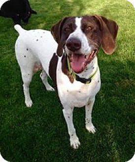German Shorthaired Pointer Dog for adoption in Rathdrum, Idaho - Phoebe